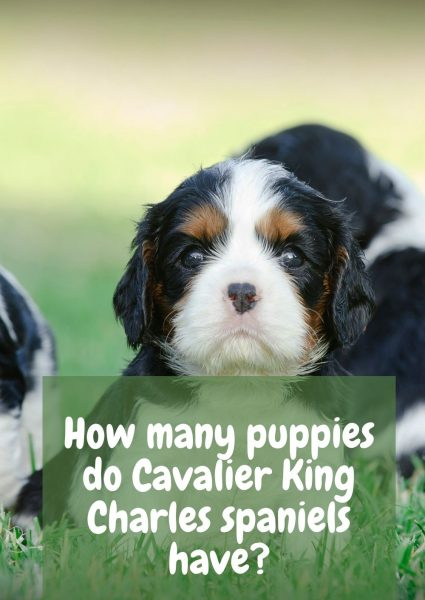 How many puppies do Cavalier King Charles spaniels have