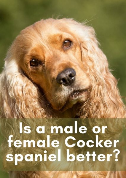Is a male or female Cocker spaniel better