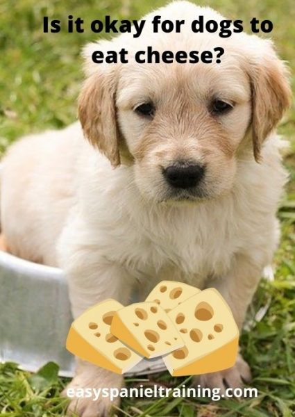 Is it okay for dogs to eat cheese_
