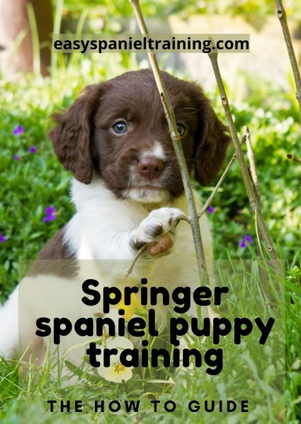 Springer spaniel puppy training