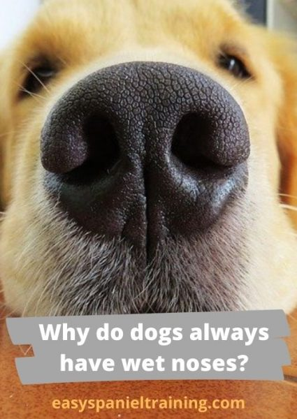 Why do dogs always have wet noses_