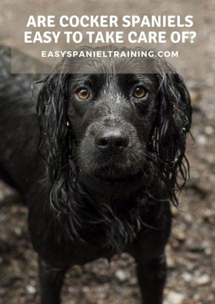 are cocker spaniels easy to take care of