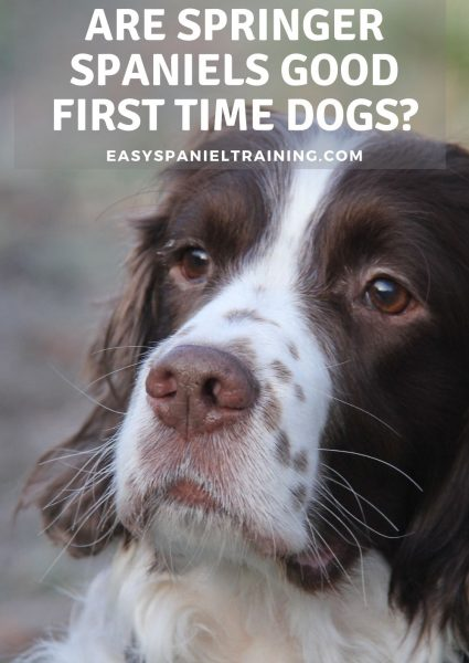 are springer spaniels good first time dogs_