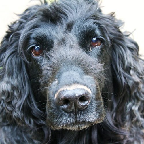 can cocker spaniels eat canned tuna
