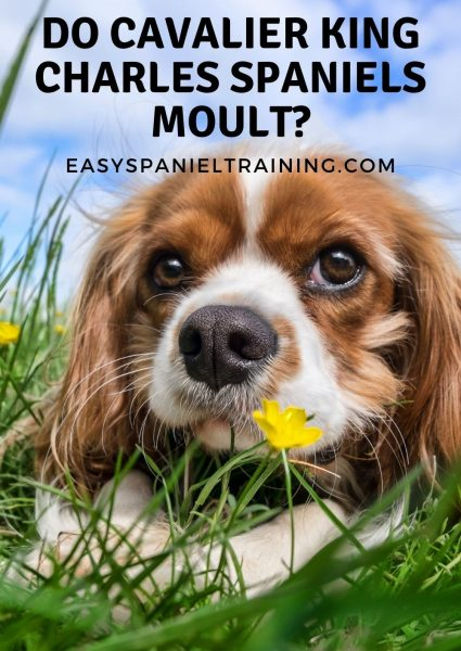 do cavalier king charles spaniels moult_