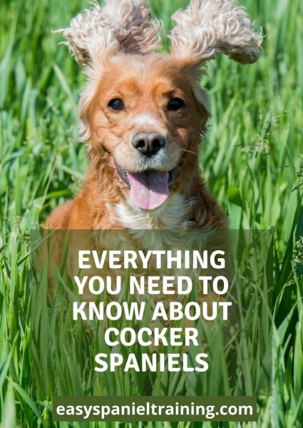 everything you need to know about cocker spaniels
