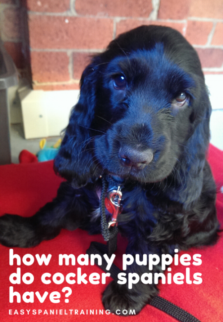 how many puppies do cocker spaniels have_