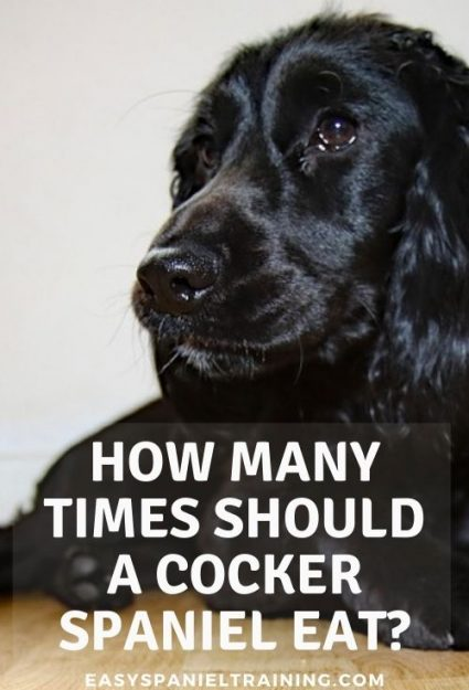 how many times should a cocker spaniel eat