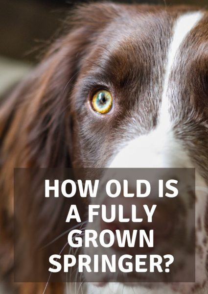 how old is a fully grown springer