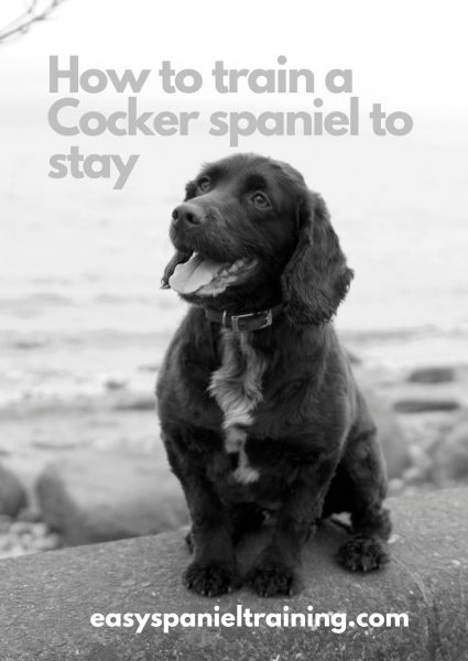 how to train a Cocker spaniel to stay