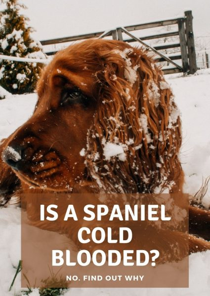 is a spaniel cold blooded_