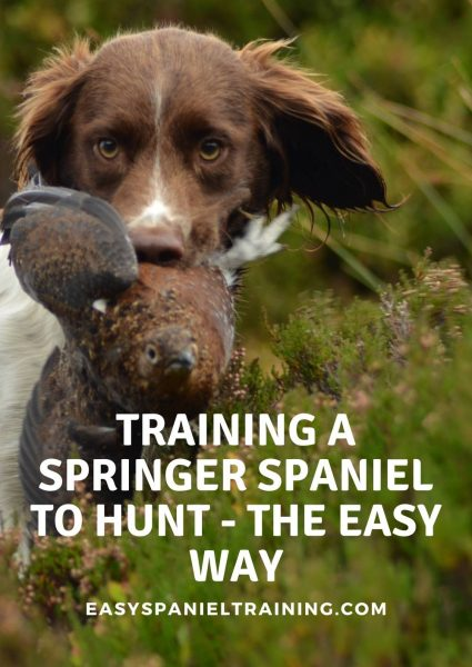 training a springer spaniel to hunt - the easy way