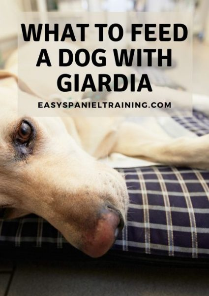 what to feed a dog with giardia