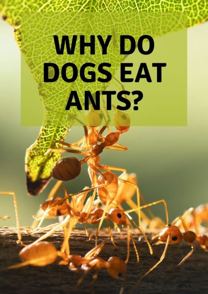 why do dogs eat ants