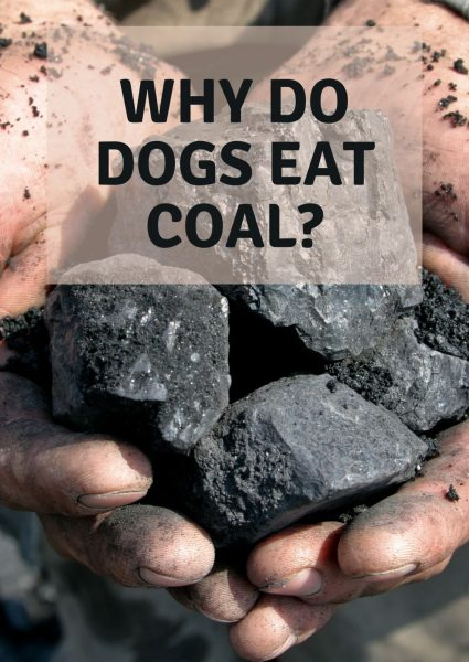 why do dogs eat coal