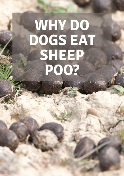 why do dogs eat sheep poo