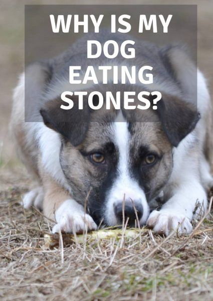 why is my dog eating stones